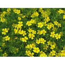 Organic Tagetes, Yellow French Marigold