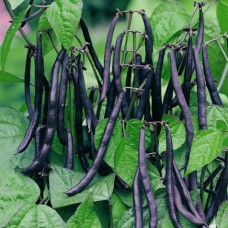 Organic Beans Dwarf French Purple Queen