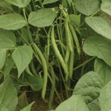 Organic Beans Dwarf French Speedy