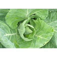 Winter Green Spring Cabbage
