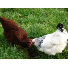 Poultry for the Home (with a Farm Visit)  Sunday May 28th 2017 - with Mary Luthers
