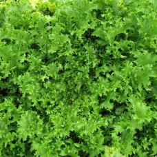 Organic Endive Wallone
