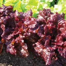 Organic Lettuce Roxy