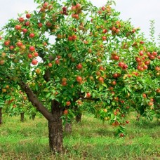 Apple Tree / Orchard 2030
