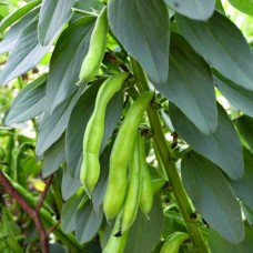 Organic Broad Bean Superaquadulce