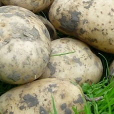 Organic Bionica Potatoes