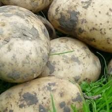 Organic Bionica Potatoes