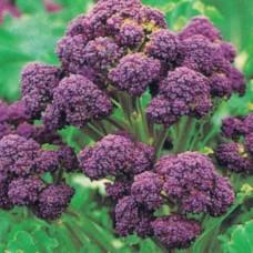 Organic Broccoli Santee F1
