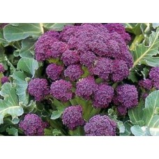 Organic Broccoli Purple Sprouting - Early
