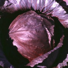 Organic Cabbage Red Drumhead Cabeza