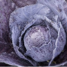 Organic Cabbage Red Rodynda