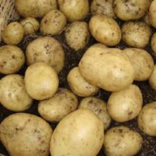 Organic Casablanca Potatoes  AVAILABLE NOW