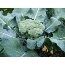 Organic Calabrese Green Sprouting