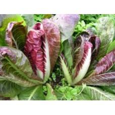 Organic Chicory Rossa di Treviso