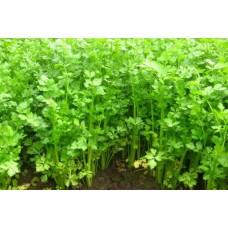 Organic Celery Leaf
