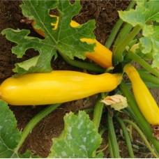 Organic Courgette Goldrush (yellow).
