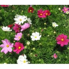 Organic Cosmos, Garden