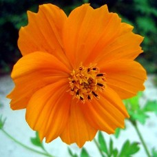 Organic Cosmos, Orange Cosmea