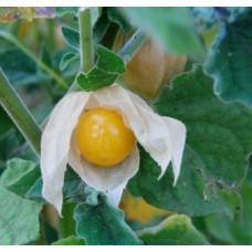 Organic Cape Gooseberry - Schoenbrun Gold
