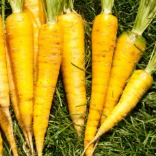 Organic Carrot Yellowstone