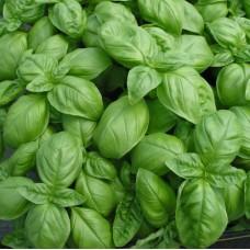 Organic Basil, Sweet Genovese