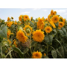 Organic Sunflower Goldy Double