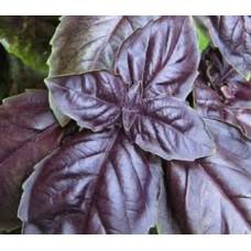 Organic Basil, Deep Purple