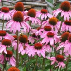 Organic Echinacea