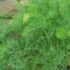 Organic Fennel, Common