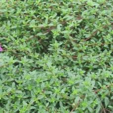 Organic Thyme, Common