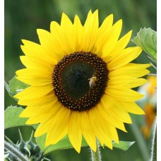 Organic Sunflower Jerusalem Dwarf Yellow