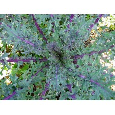Organic Kale Red Russian Curled