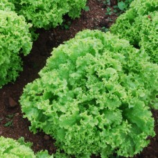 Organic Lettuce Lollo Biondi