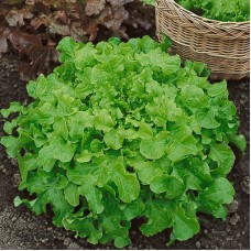 Organic Lettuce Salad Bowl
