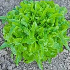 Organic Lettuce Till