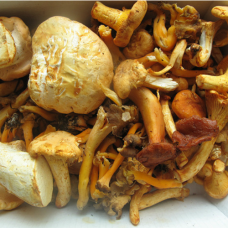 Wild Mushroom Foraging  with Tina Pommer September - Sunday 2nd September 2018