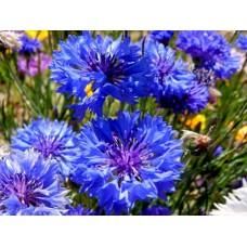 Organic Cornflowers - Centaurea Cyanus- Blue