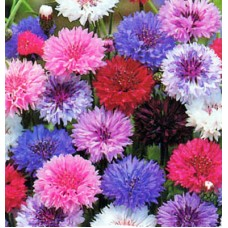 Organic Cornflowers - Centaurea Cyanus - Mixed