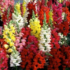 Organic Antirrhinum, Snapdragon Mixed