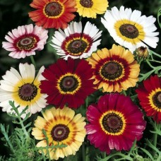 Organic Chrysanthemum Annual Mix