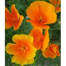 Organic Eschholtzia, California Poppy