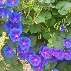 Organic Ipomoea, Purpurea