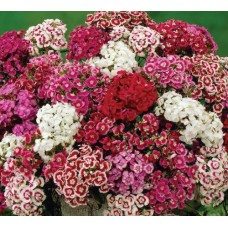 Organic Sweet William Mix