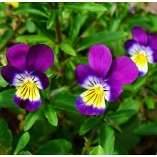 Organic Viola, Tricolour