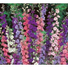 Organic Larkspur, Galilee Mixed