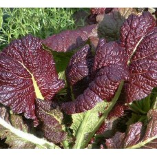 "Organic Oriental Chinese Mustard, ""Giant Red"""