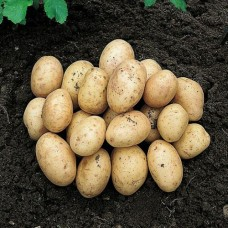 Organic Orla Potato AVAILABLE NOW