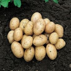 Organic Orla Potato