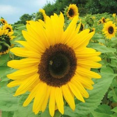 Organic Sunflower Giant Yellow