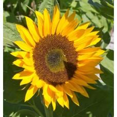 Organic Sunflower Zoar